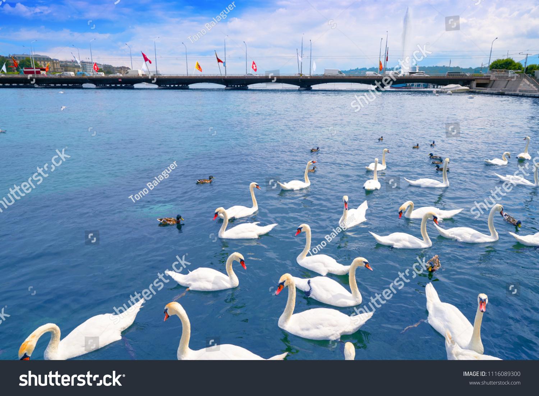 Swans Geneve Geneva Switzerland Swiss Leman Stock Photo & Image ...