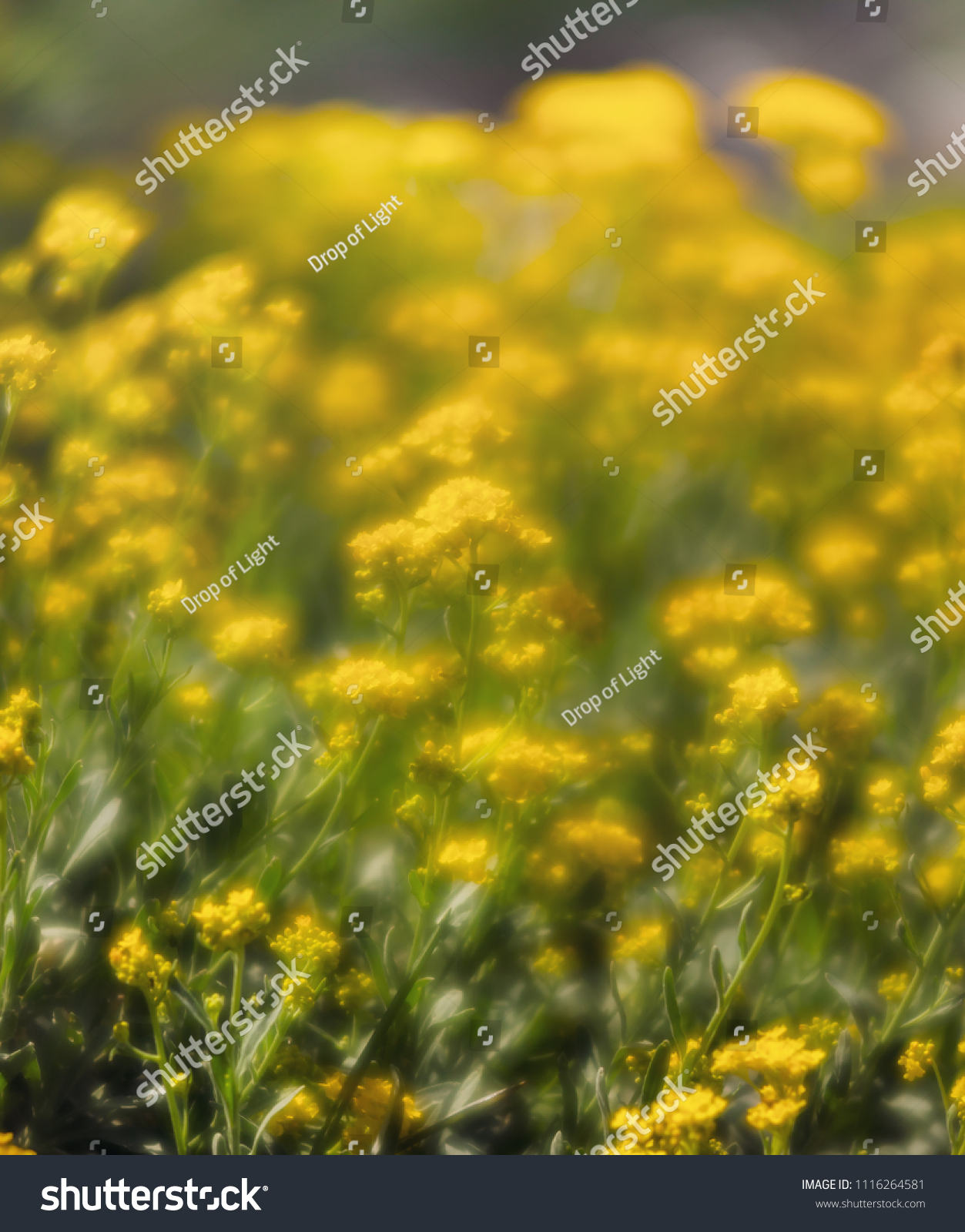 Soft Focus Image Small Yellow Flowers Stock Photo Royalty Free