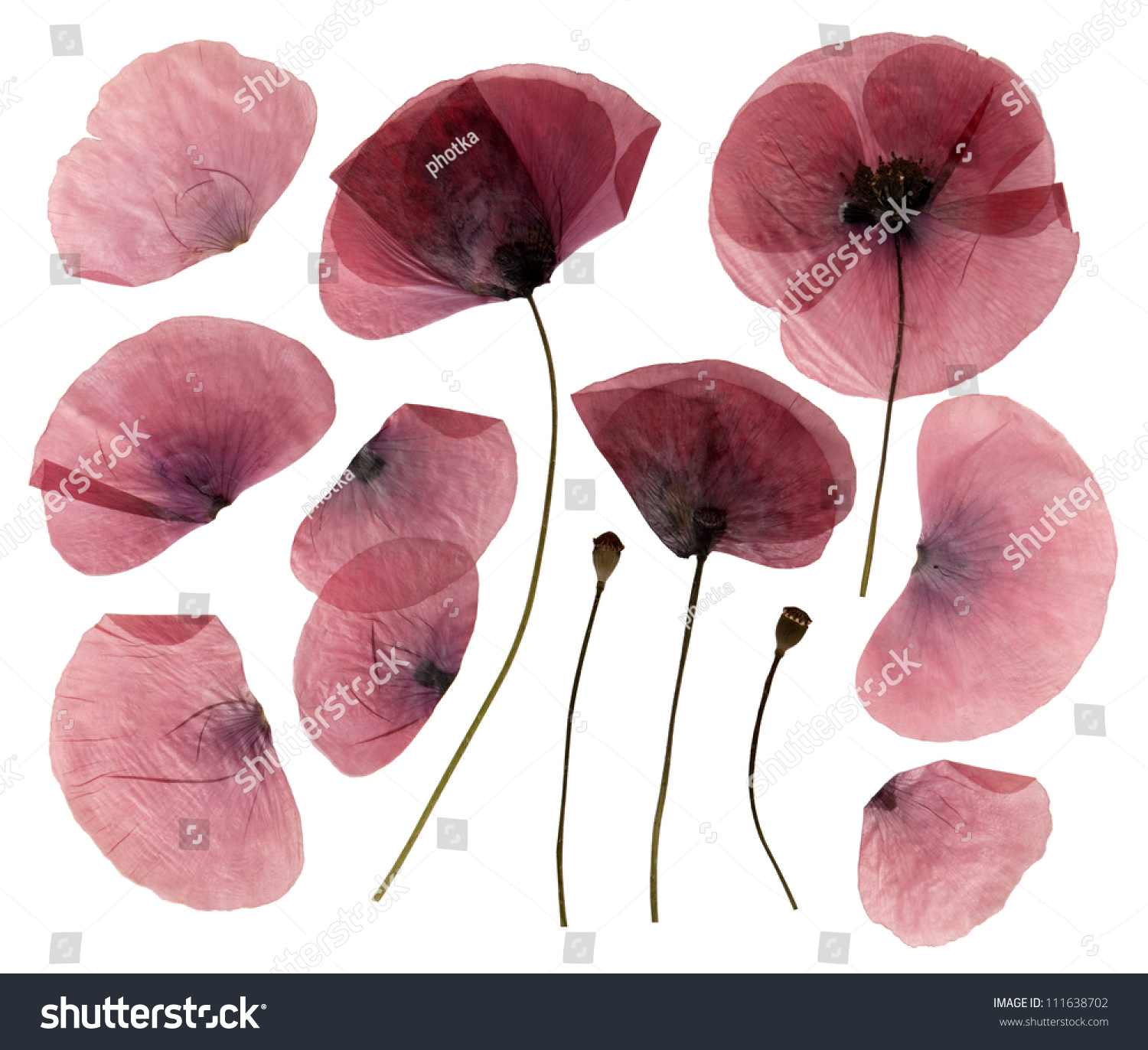 Dry Pressed Poppy Flowers Isolated On Stock Photo Edit Now