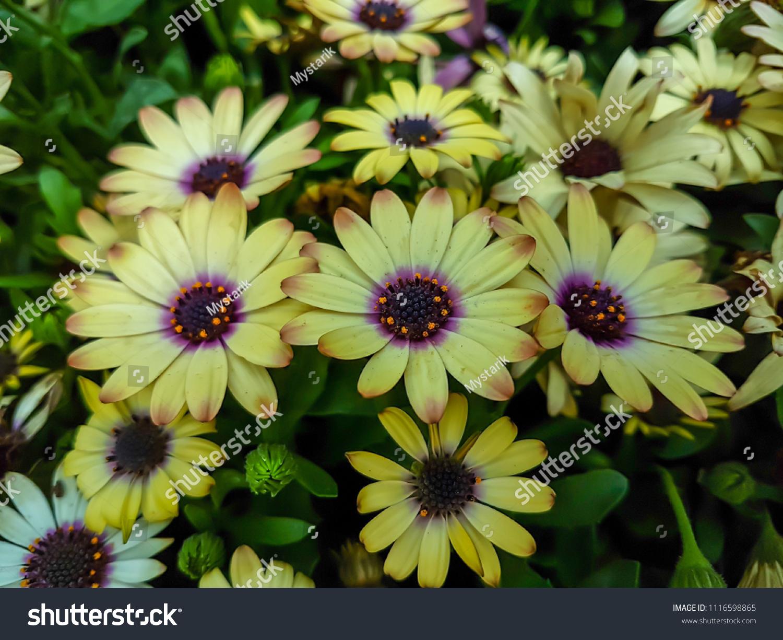 Colorful Beautiful African Daisy Flowers Reddish Stock Photo Edit