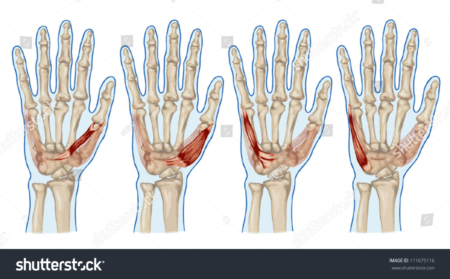 Palm Human Muscle Anatomy Abductor Flexor Stock Vector 111675116 ...