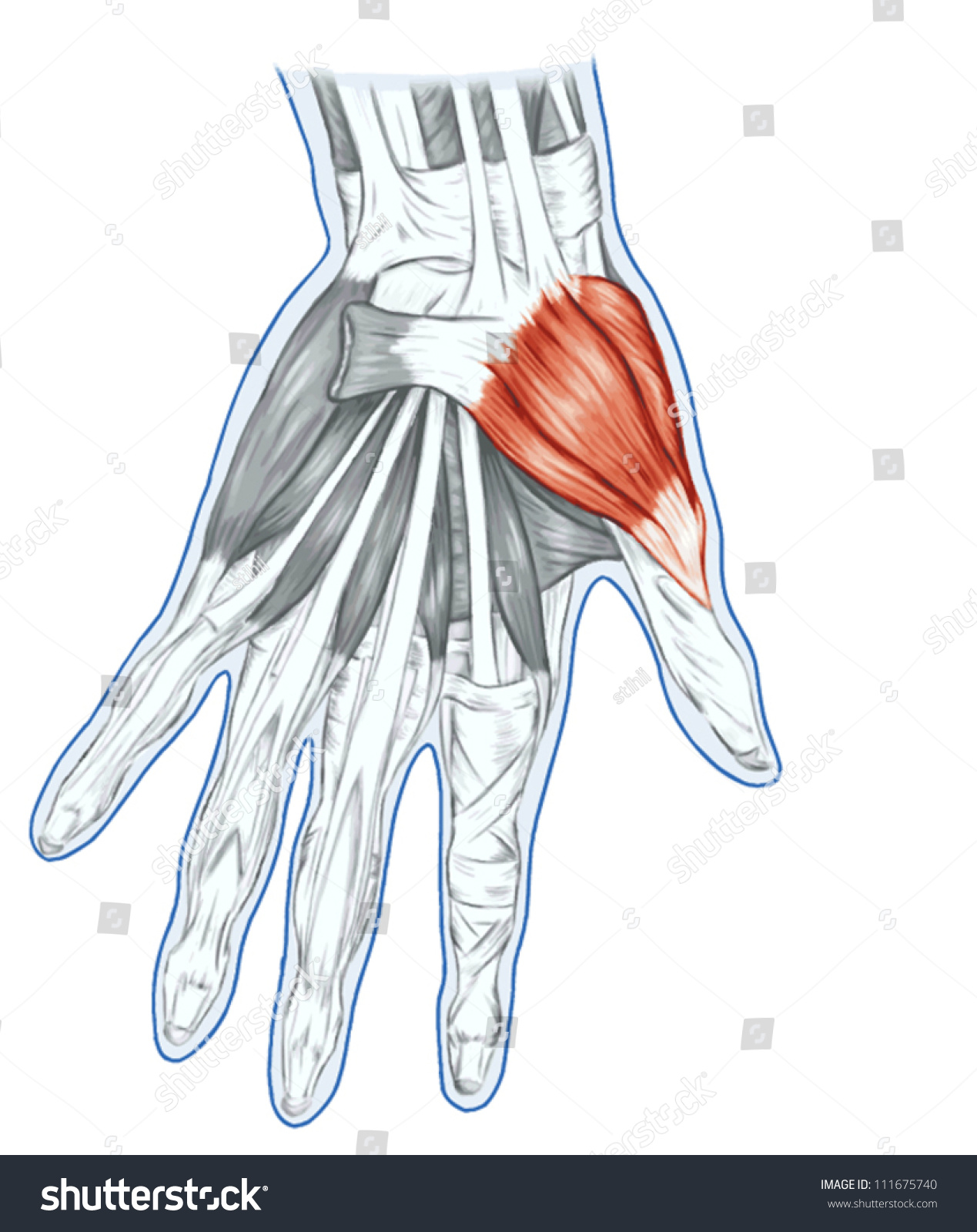 Anatomy Muscular System Hand Palm Muscle Stock Vector 111675740