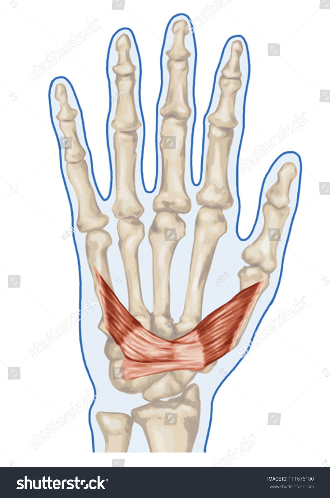Anatomy Muscular System Hand Palm Muscle Stock Vector (Royalty Free ...