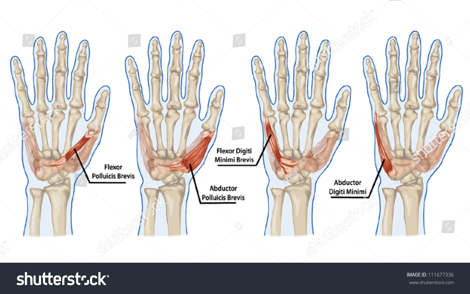 Palm Human Muscle Anatomy Abductor Flexor Stock Vector 111677336 ...