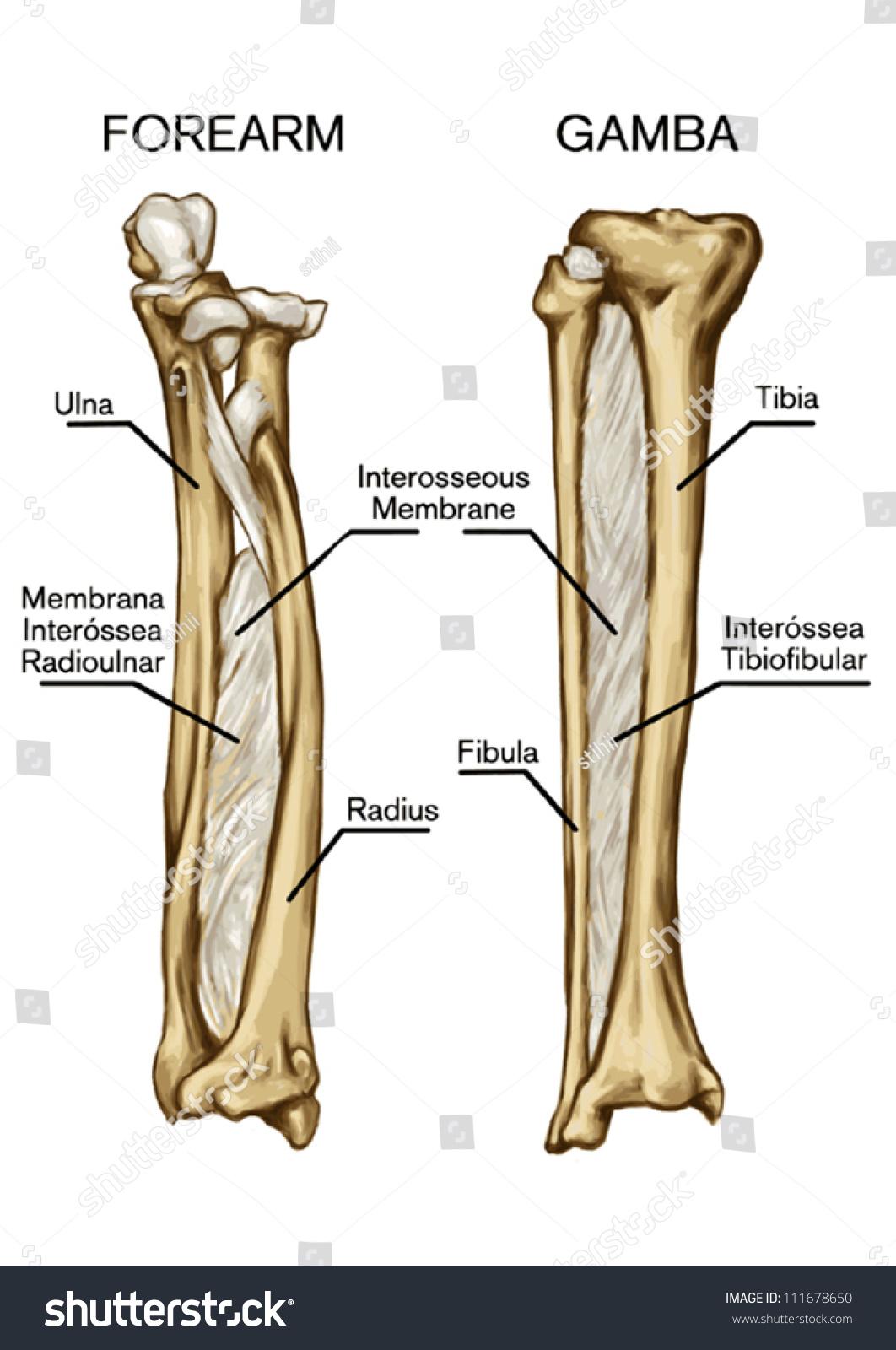 Bone Syndesmose Forearm Bone Gamba Bone Stock Vector 111678650 ...