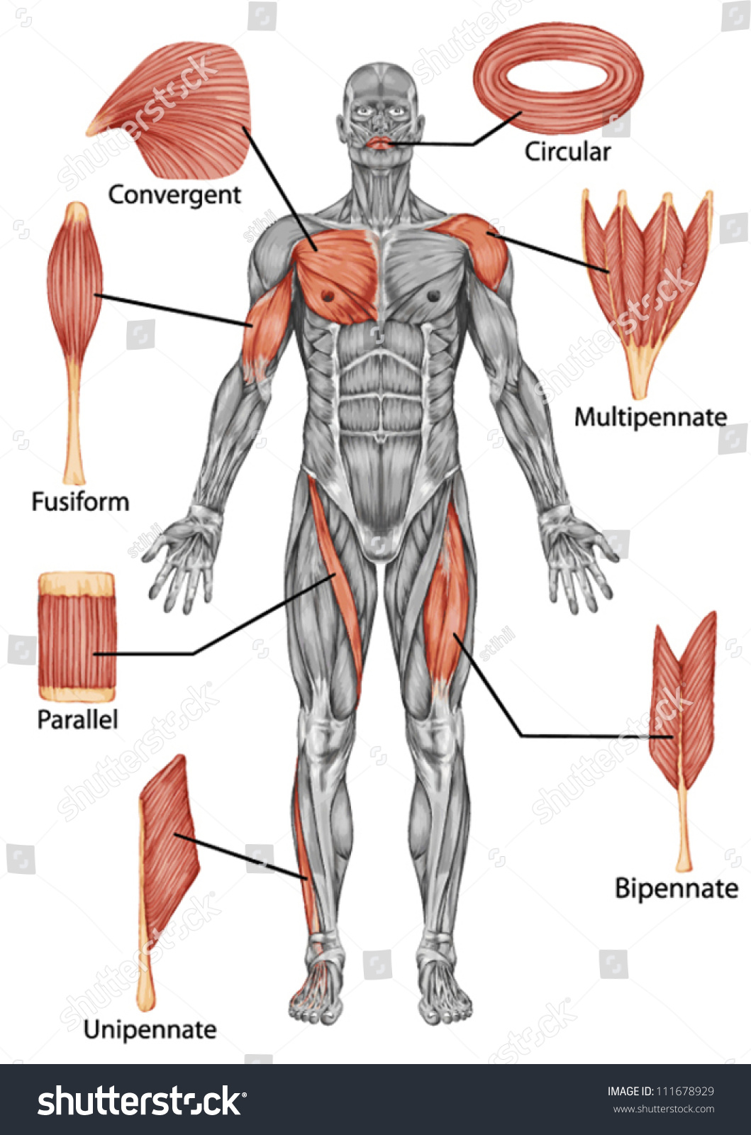 Anatomy Male Muscular System Posterior View Stock Vector 111678929 ...