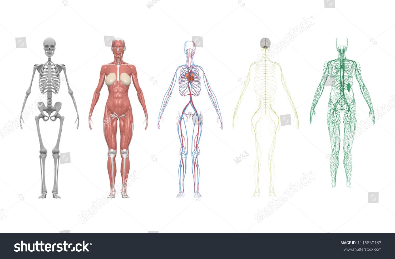 Medical Education Chart Biology Human Body Stock Illustration
