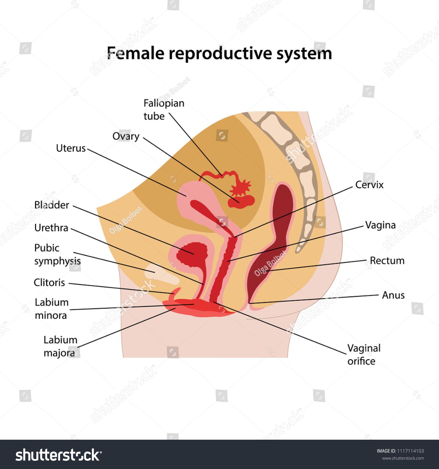 Female Reproductive System Main Parts Labeled Stock Vektorgrafik