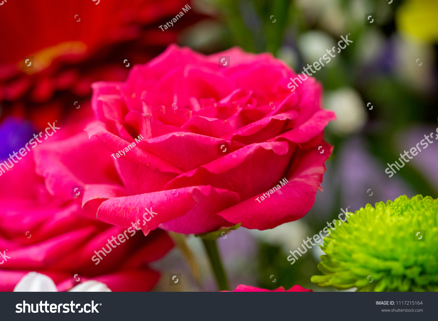 Roses plant beautiful large fragrant flowers stock photo edit now a plant with beautiful large fragrant flowers and a stalk usually covered with izmirmasajfo
