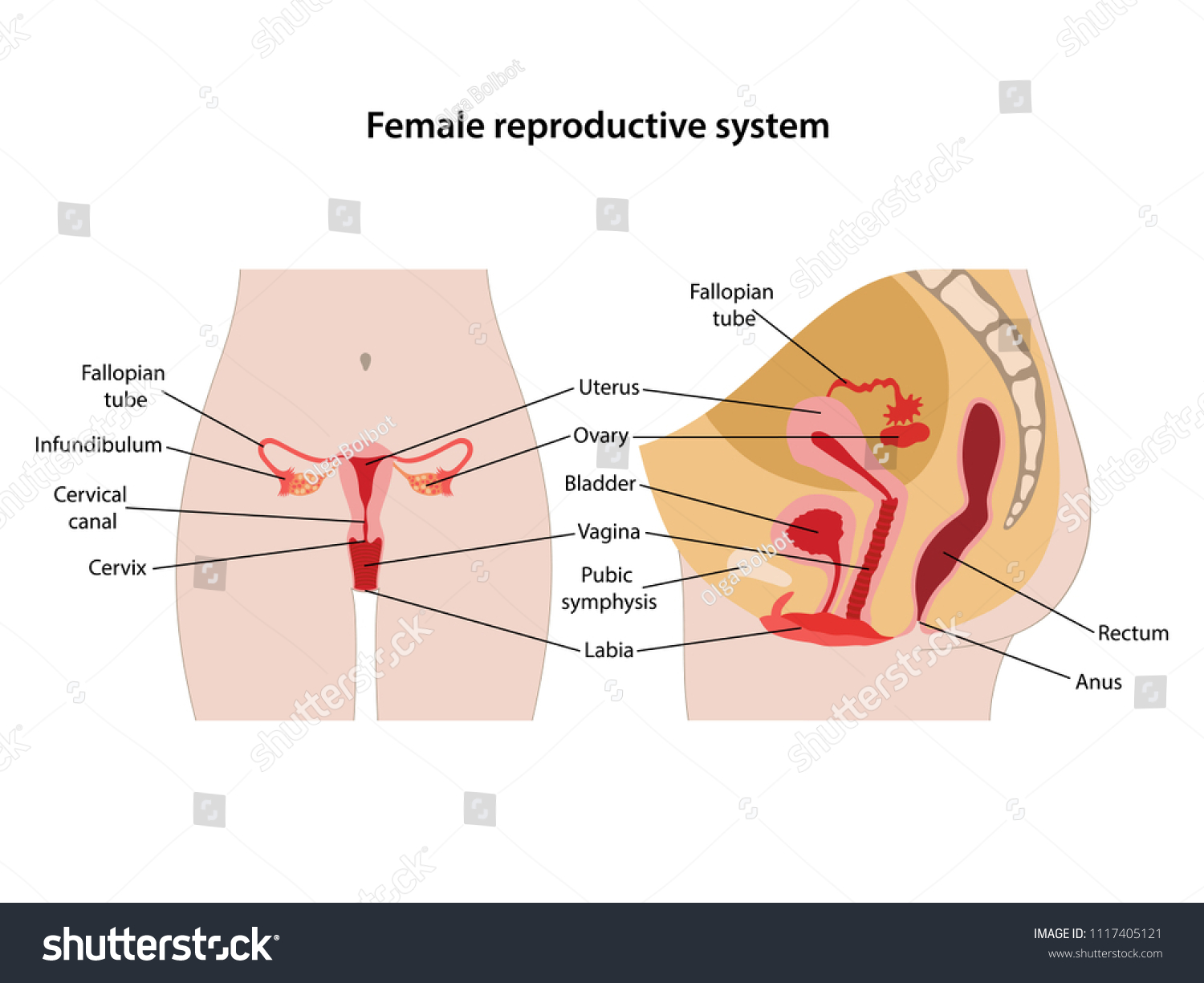 Female Reproductive System Main Parts Labeled Stock Vector Royalty