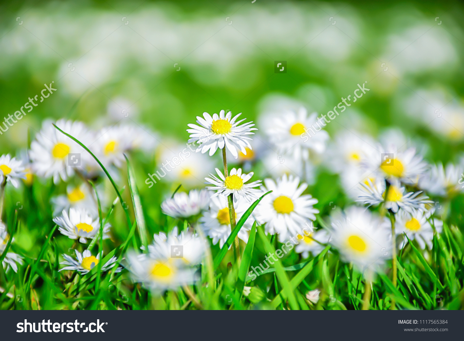 Daisy Flowers Growing On Field Spring Blurred Stock Photo Edit Now
