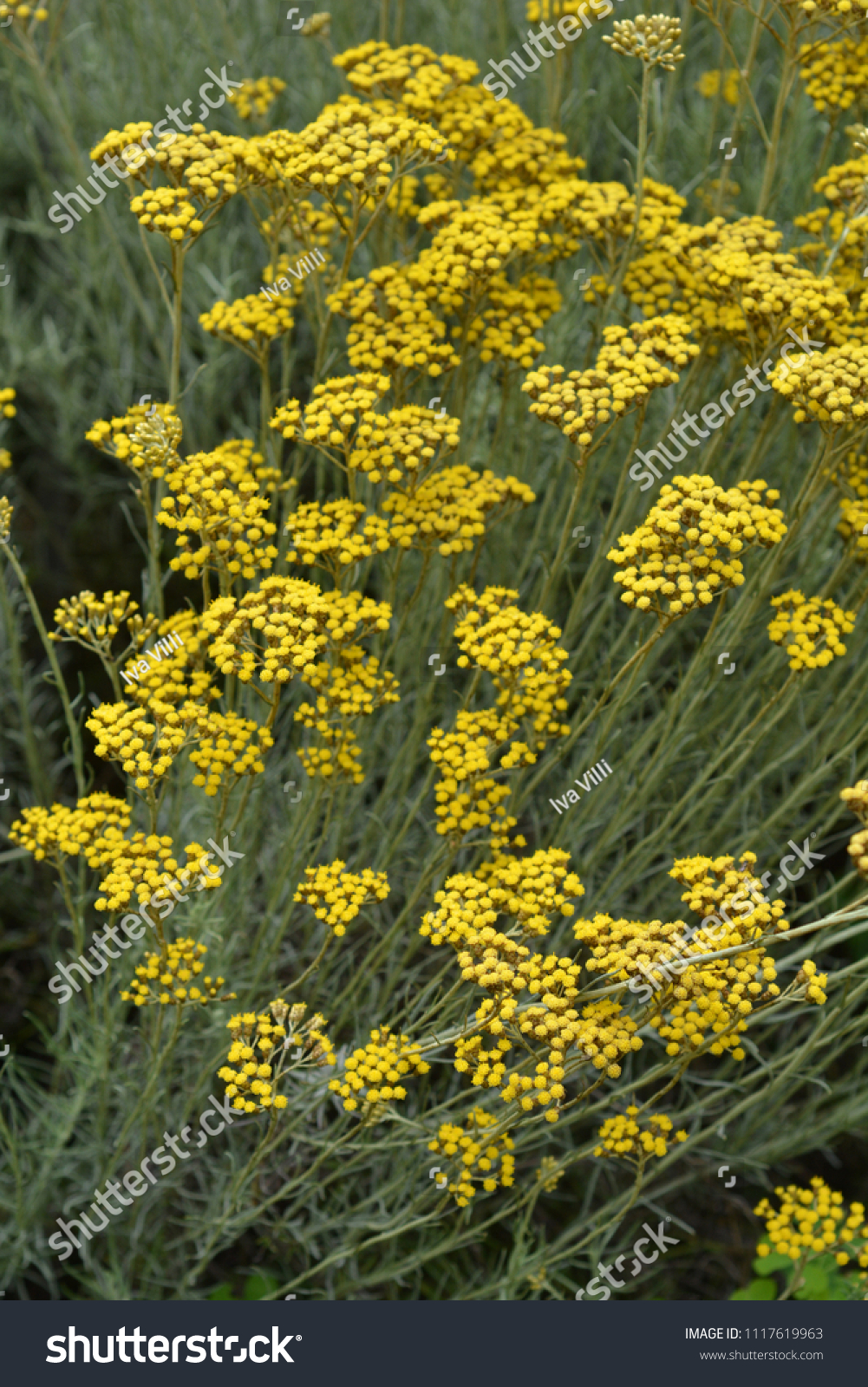 Italian Everlasting Yellow Flowers Latin Name Stock Photo Edit Now