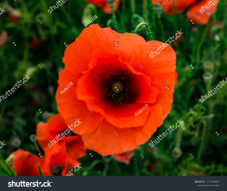 Poppy Fields Flanders Field Red Flowers Stock Photo Edit Now