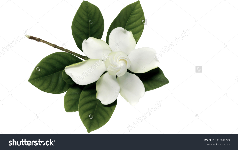 Gardenia jasminoides cape jasmine flower on stock photo edit now gardenia jasminoides or cape jasmine flower on white background izmirmasajfo
