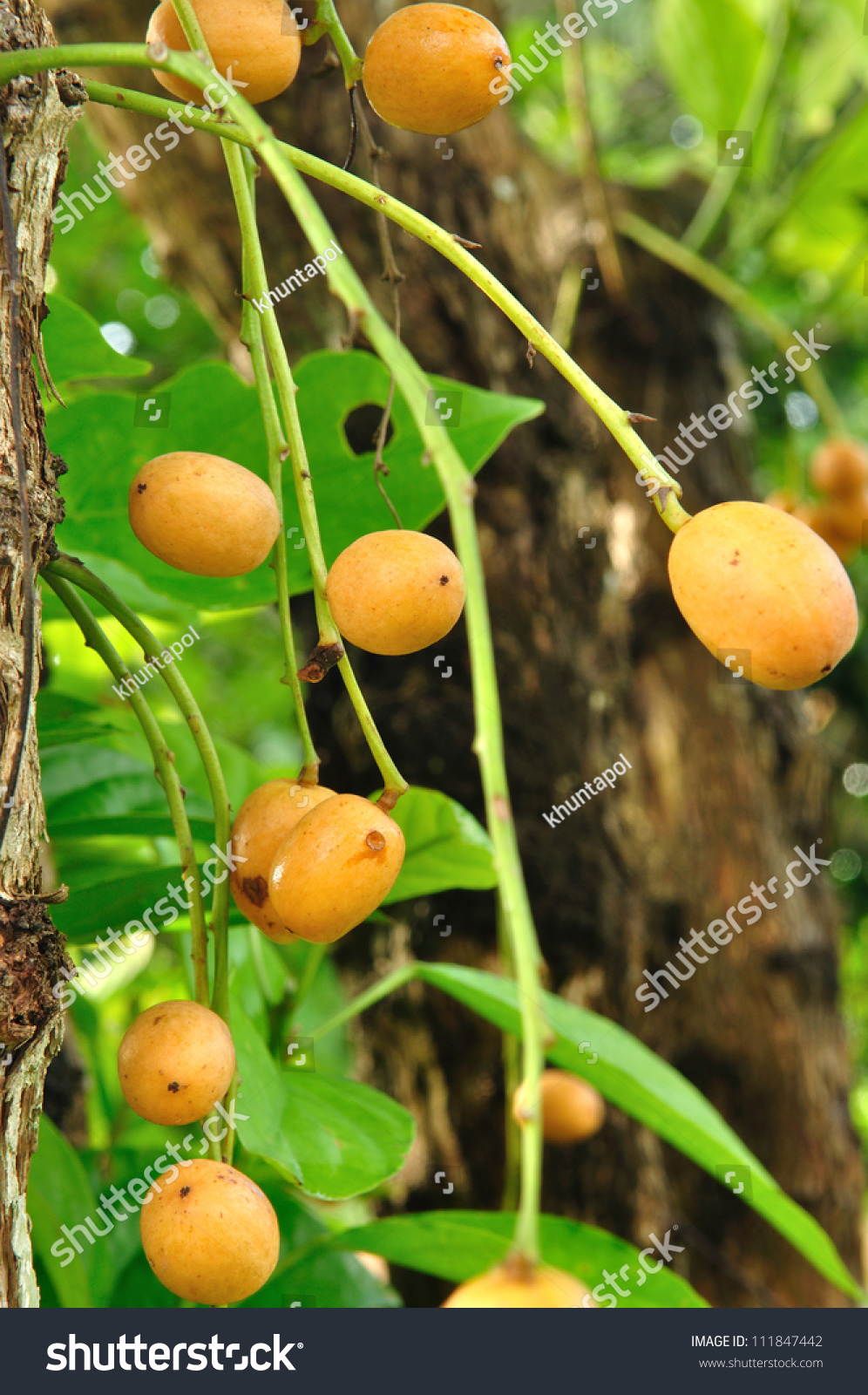 Burmese Grape Or Rambai ,Thai Native Fruit Name In Thai Is ...