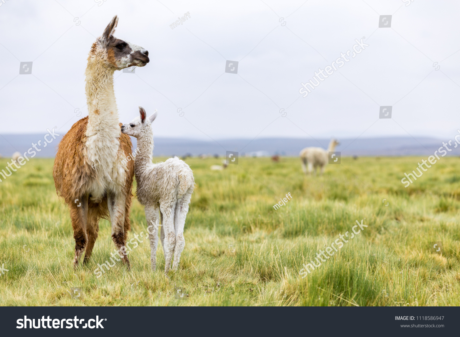 A baby llama with it's mother in the Altiplano #1118586947