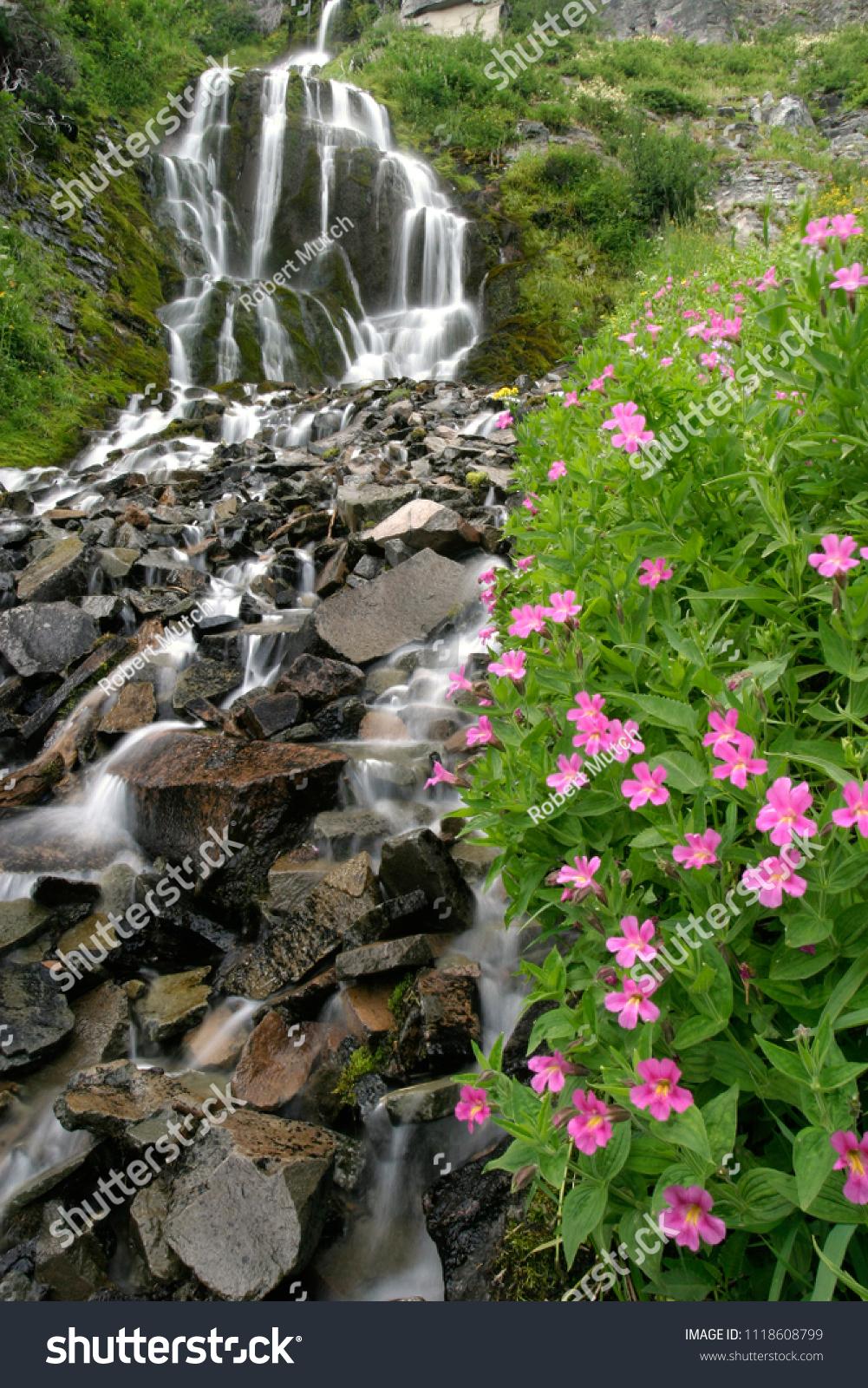 Vidae Falls Wildflowers Pink Monkeyflower Crater Stock Photo