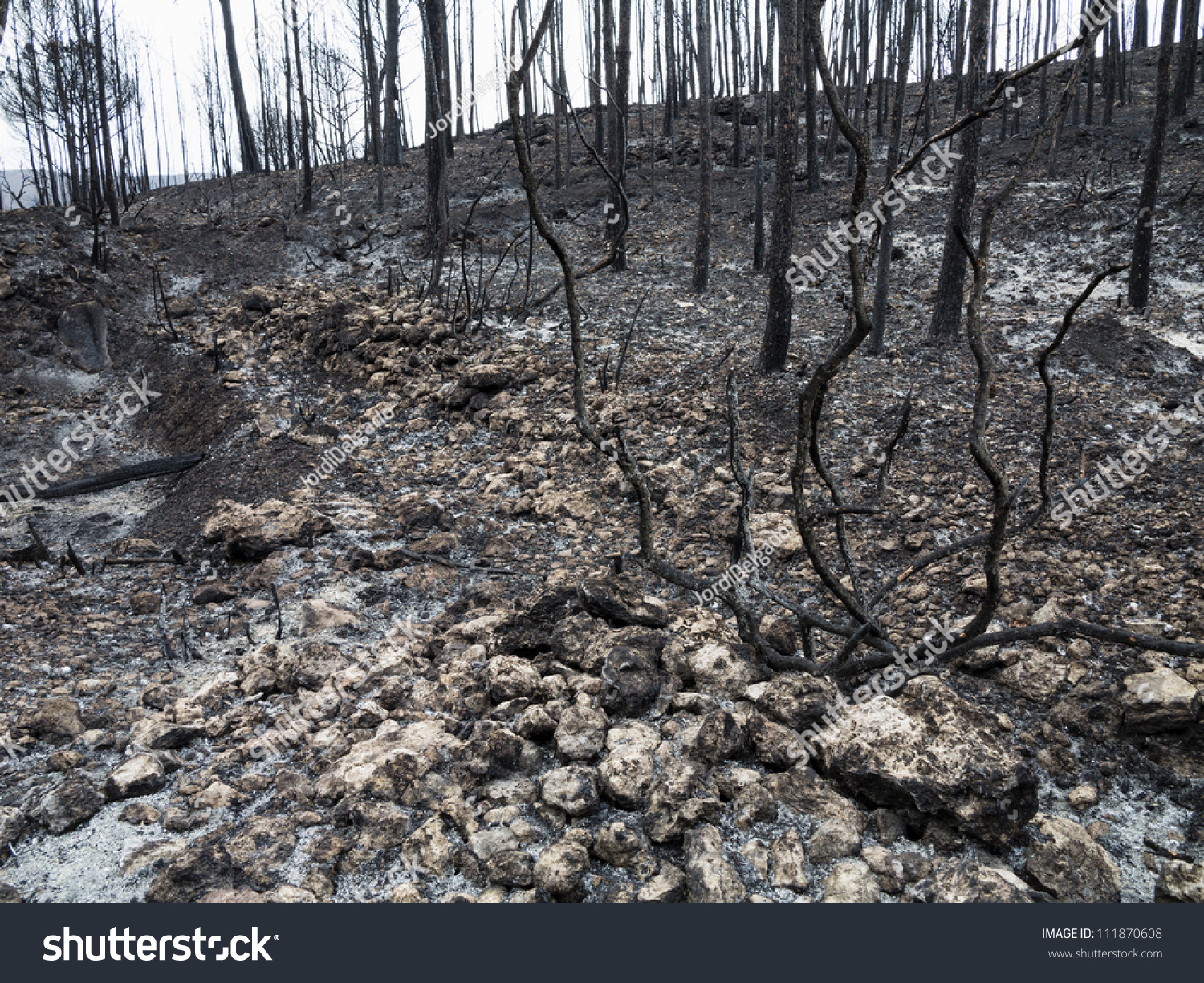 Burnt Trees After Forest Fire Stock Photo 111870608 ...