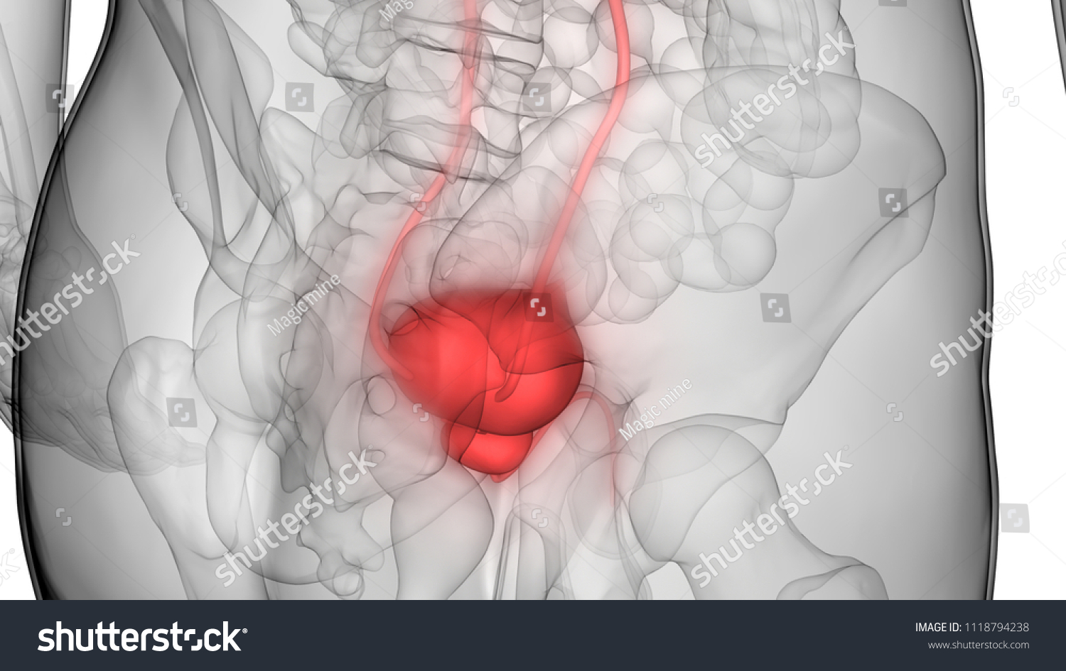 Male Urinary System Kidneys Bladder Anatomy Stock Illustration ...