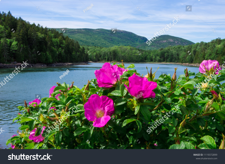 stock-photo-rugosa-rose-bush-in-foregrou