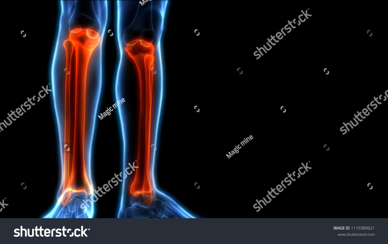 Human Skeleton System Tibia Fibula Joints Stock Illustration