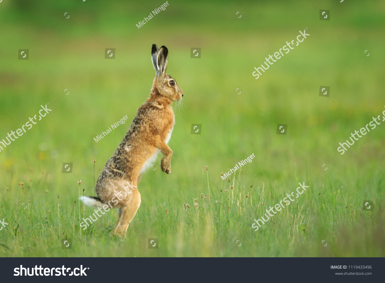 European hare, Lepus europaeus, looking around dangerous