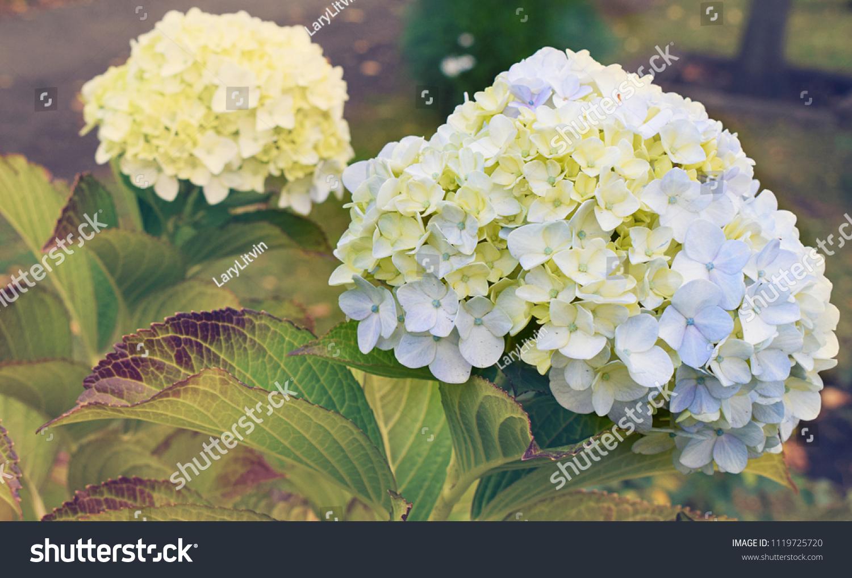Hydrangea Macrophylla Blue Beautiful Flower Common Stock Photo Edit