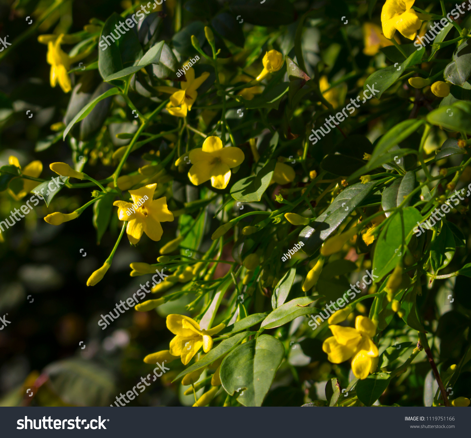 Fragrant buttercup yellow flowers carolina jasmine stock photo edit fragrant buttercup yellow flowers of carolina jasmine contrasted against shiny green foliage burst into fragrant bloom izmirmasajfo