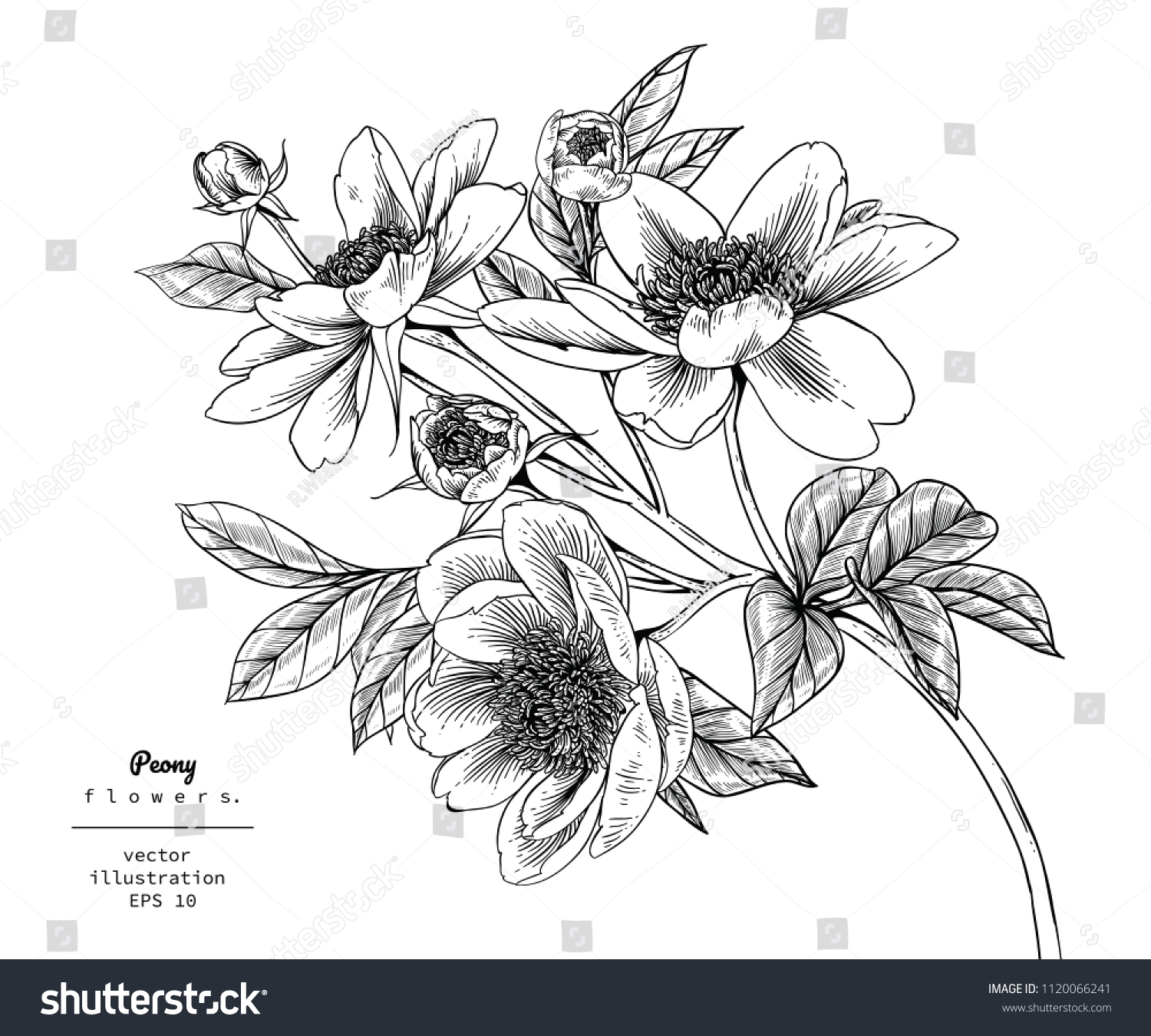 Sketch Floral Botany Collection Peony Flower Stock Vector Royalty