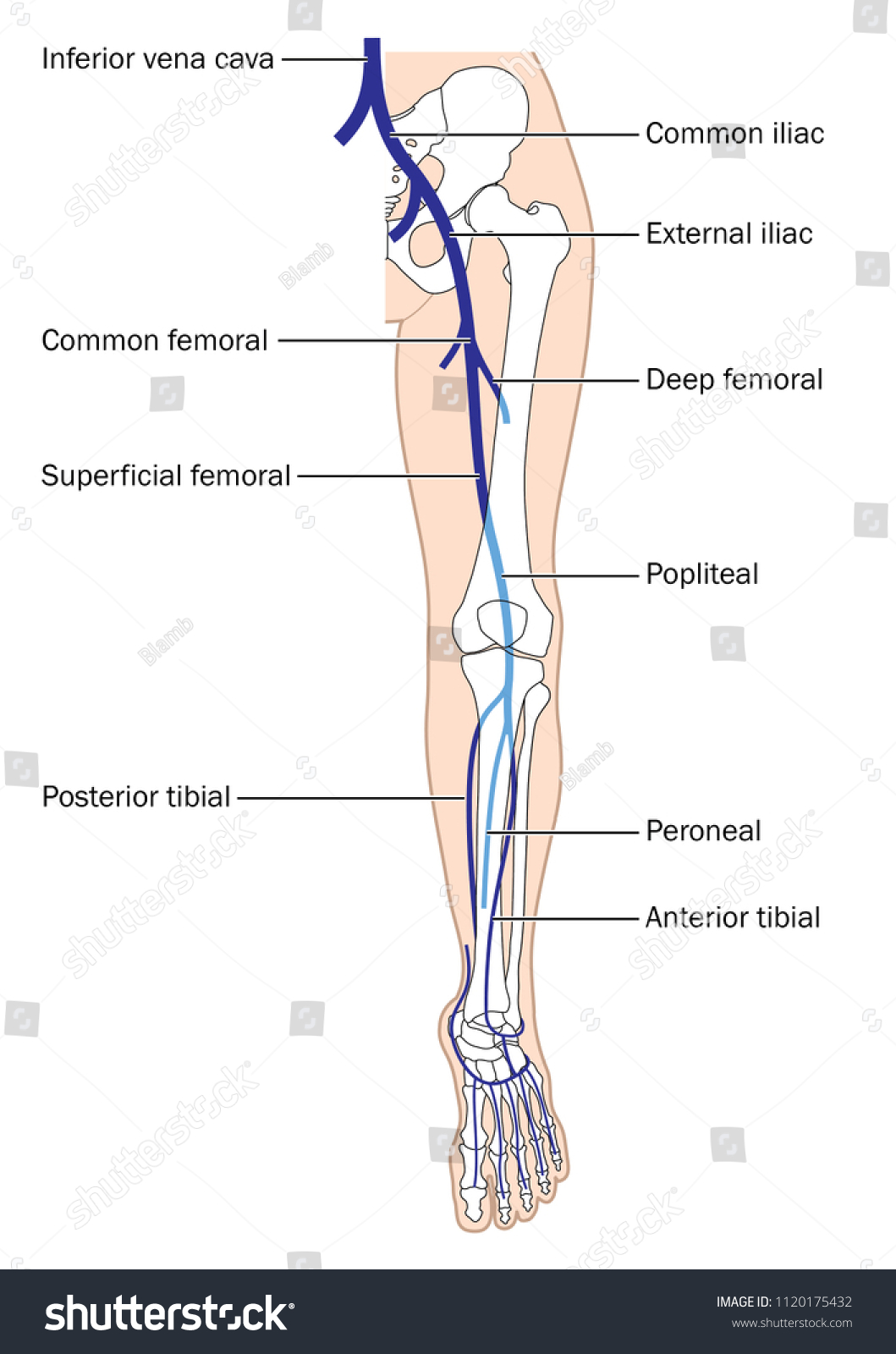 Main Veins Leg Foot Inferior Vena Stock Vector Royalty Free
