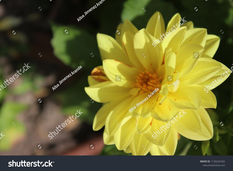 Close Yellow Dahlia Flower Stock Photo Royalty Free 1120232342