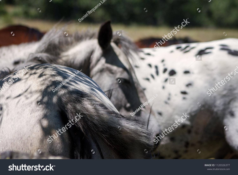 Grey Leopard Pattern Appaloosa Horses Sleeping Stock Photo Edit Now 1120326377