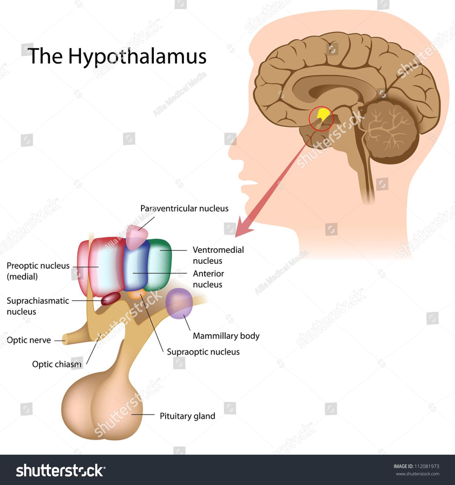 Nuclei Hypothalamus Stock Illustration 112081973 - Shutterstock