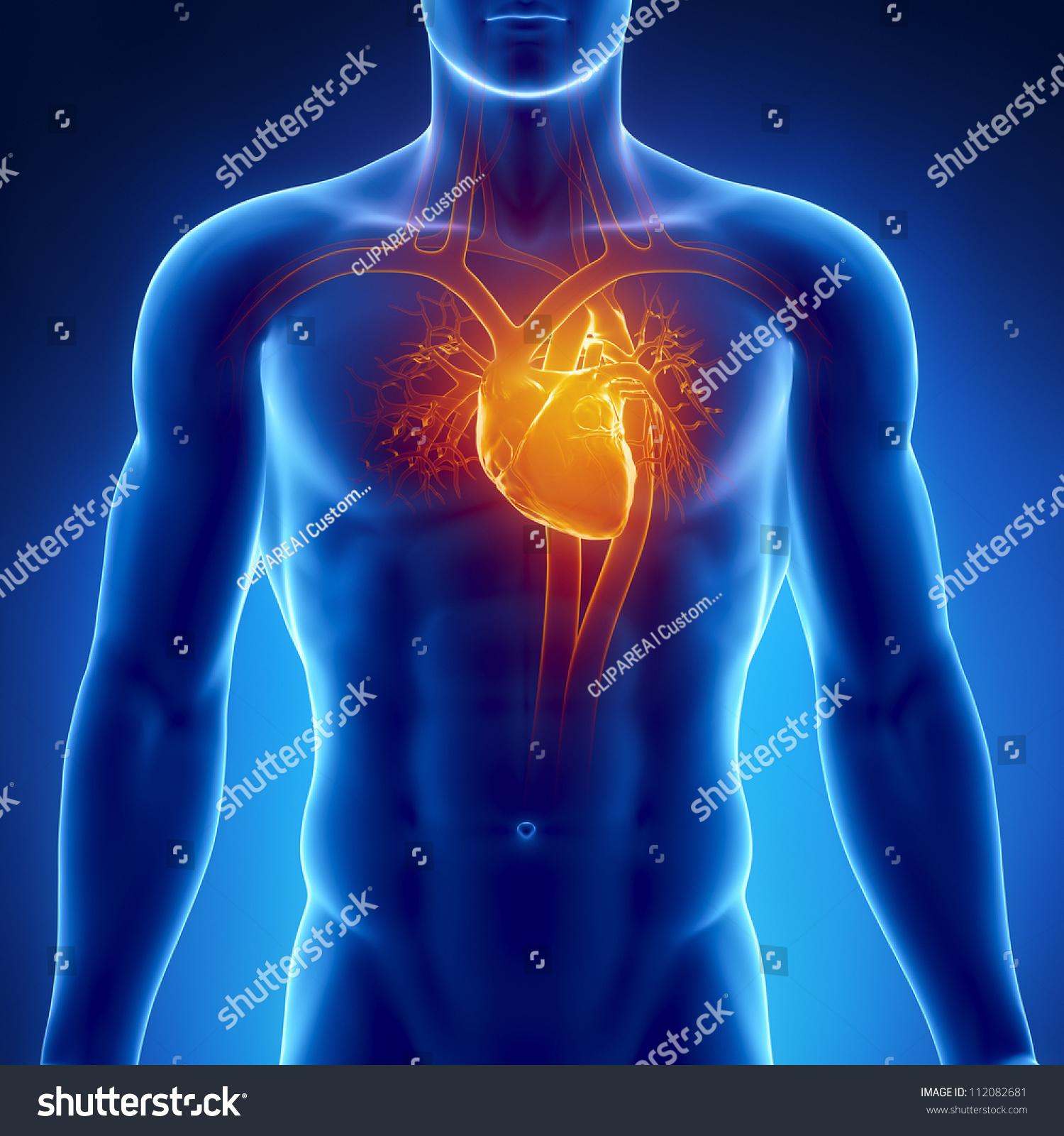 Human Heart Anatomy Stockillustration 112082681 – Shutterstock