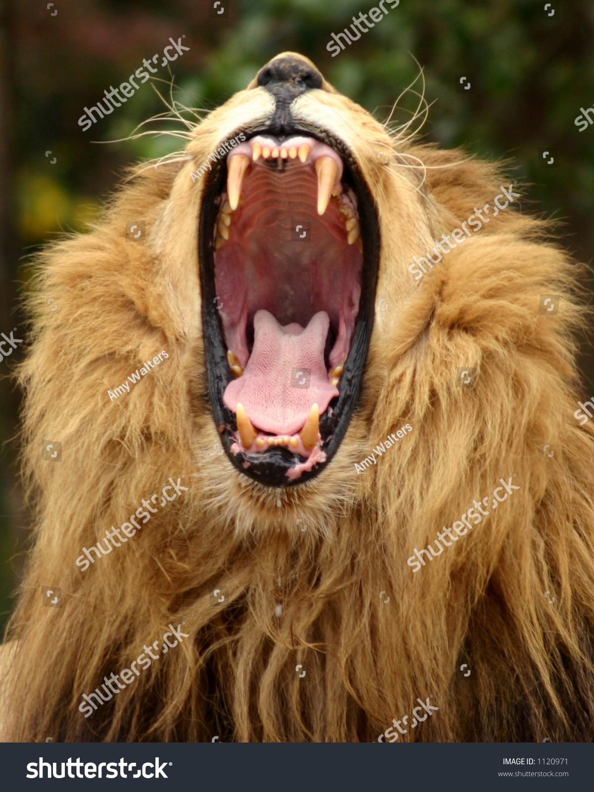 A Close Up Of Bad Makeup: Closeup Photo Ferocious Lion Yawning Showing Stock Photo