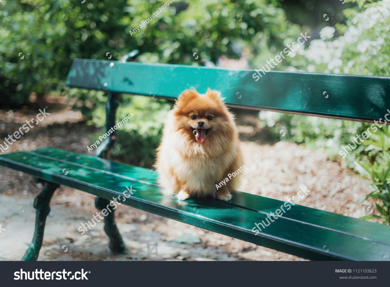 Fluffy Little Pomeranian Dog Sitting On Stock Photo Edit Now
