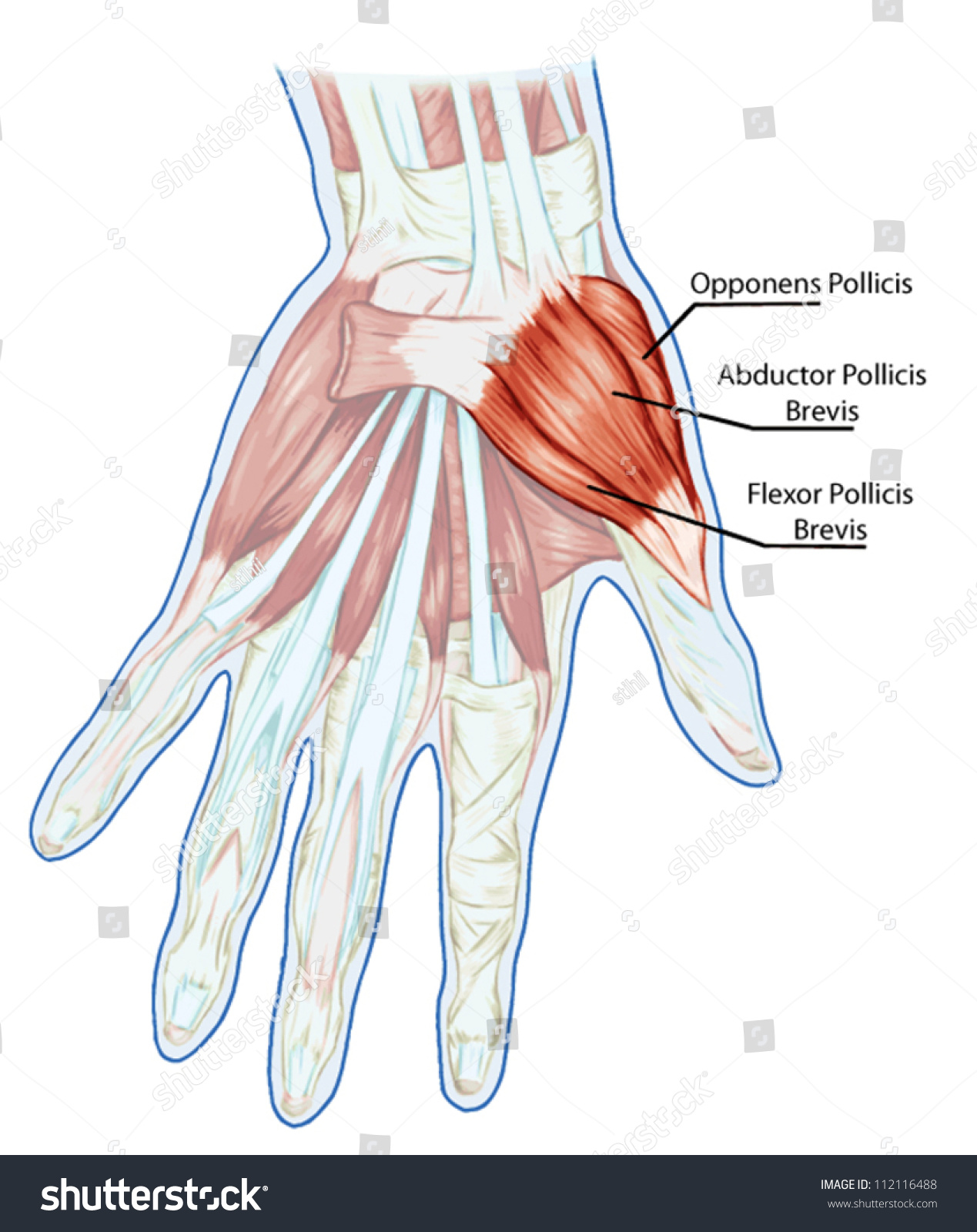 Anatomy Muscular System Hand Palm Muscle Stock Vector 112116488 ...