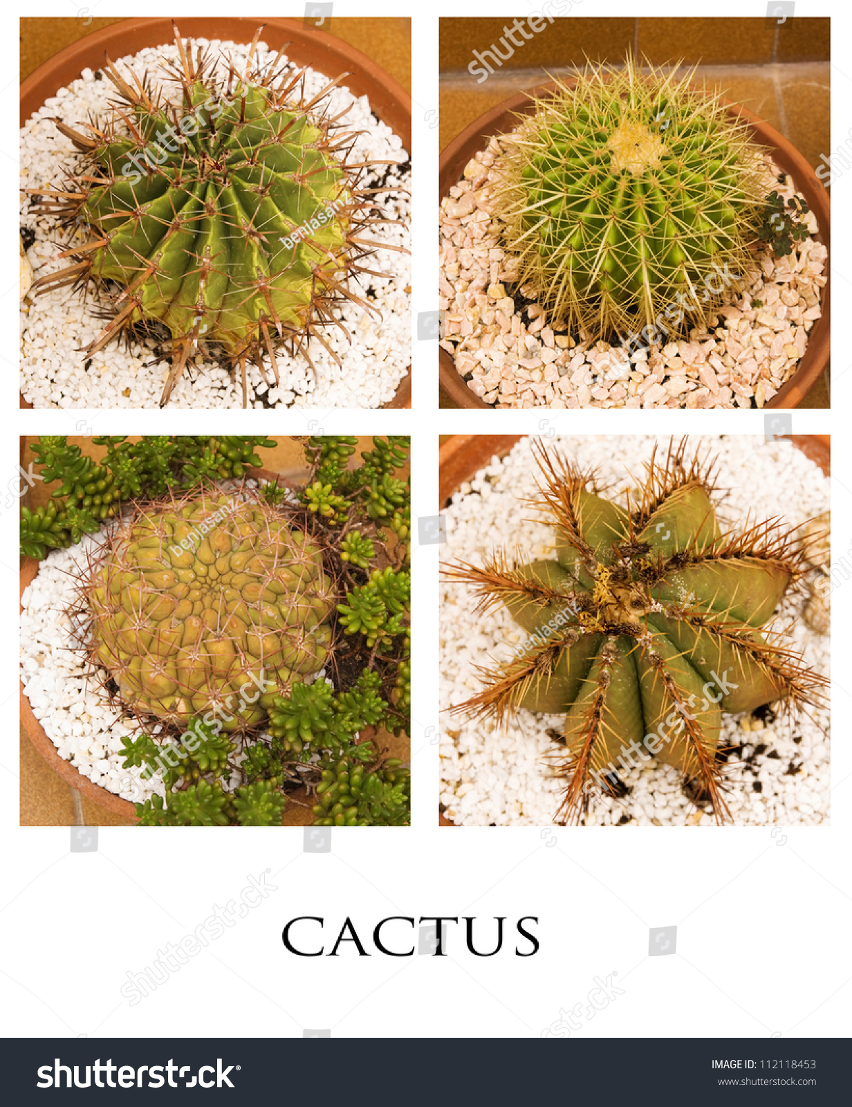 composition of four fleshy cactus family of cacti succulents stock photo 112118453 shutterstock. Black Bedroom Furniture Sets. Home Design Ideas