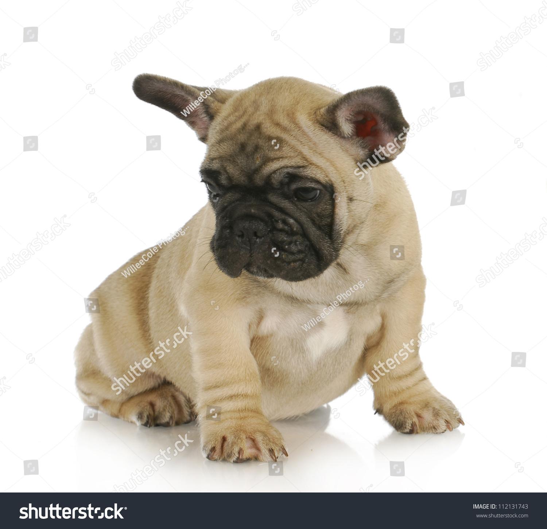 Cute Puppy French Bulldog Puppy Sitting Stock Photo Edit Now
