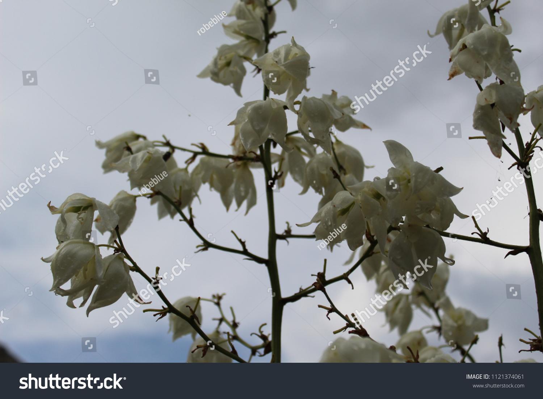 Melancholic Image White Bell Flowers Rainy Stock Photo Edit Now