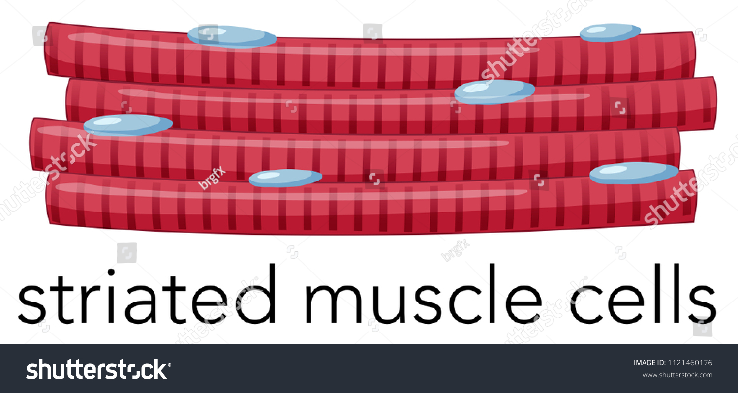 Magnified Striated Muscle Cells Illustration Stock Vector Royalty