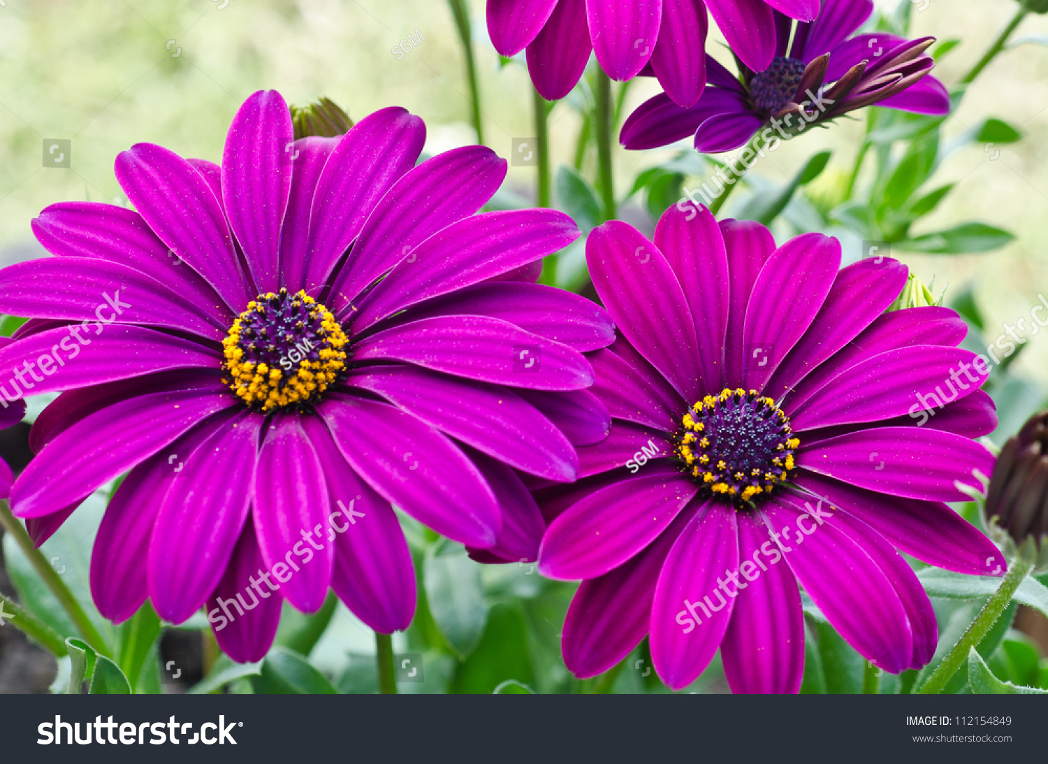 Purple daisy flowers osteospermum stock photo edit now 112154849 purple daisy flowers osteospermum izmirmasajfo