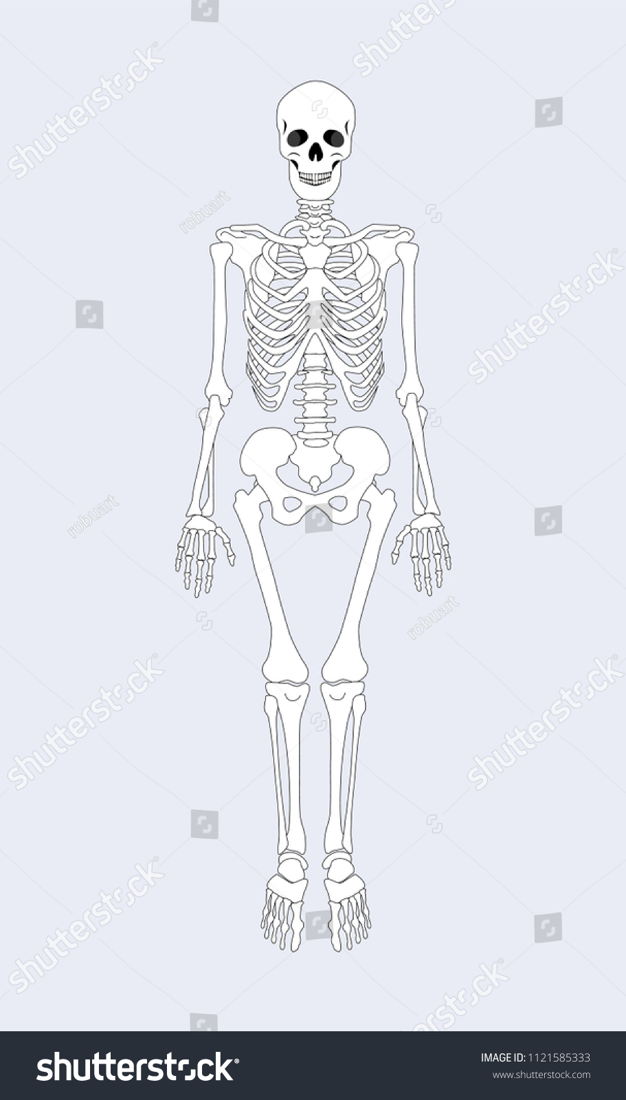 Skeleton Human Body Skeletal System Supporting Stock Vector Royalty