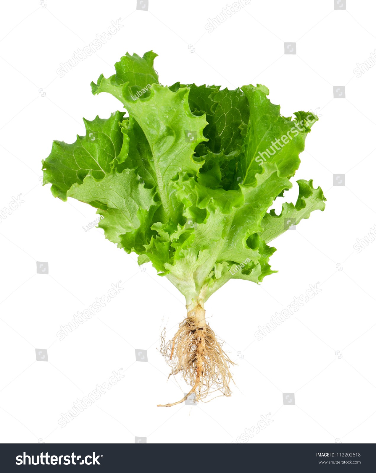 Lettuce Plant With Roots