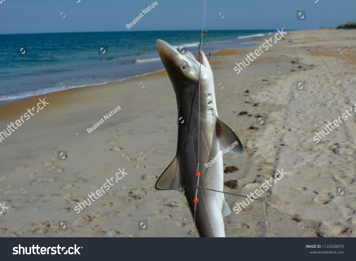 Baby Black Tip Reef Shark Caught Stock Photo Edit Now 1122028079