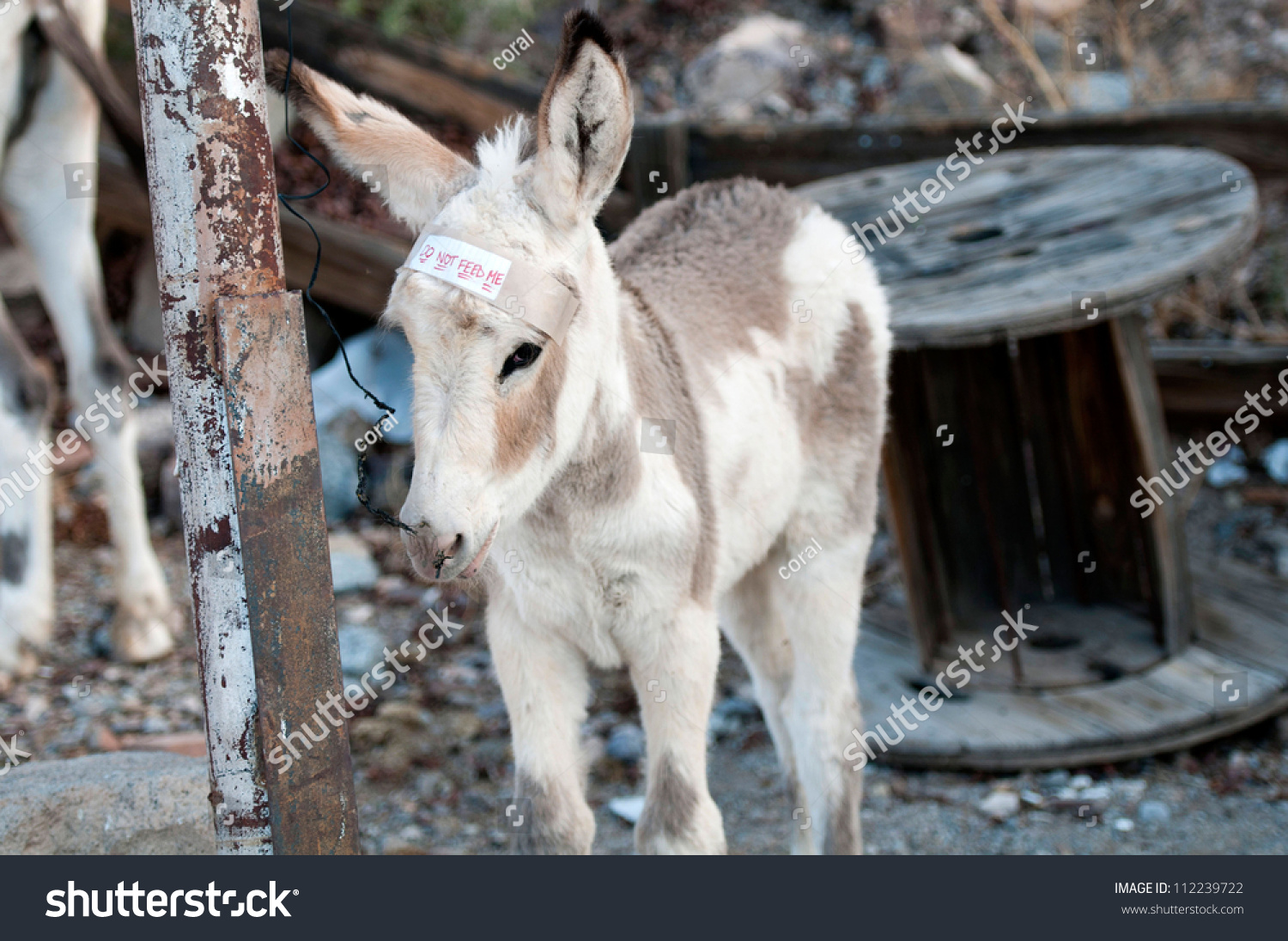 Young Burro Oatman Arizona Chewing On Stock Photo (Edit Now ...