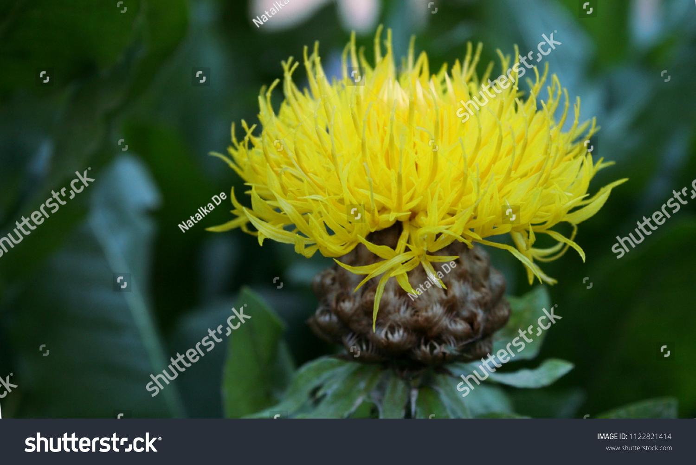Yellow Cornflower Centaurea Flower Green Leaves Stock Photo Edit