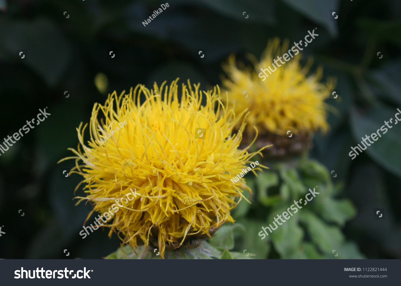 Yellow Cornflower Centaurea Flowers Green Leaves Stock Photo Edit
