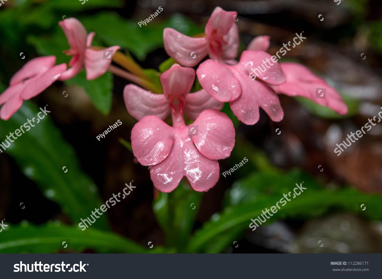 Pink Lipped Habenaria Pink Snap Dragon Flower Stock Photo Royalty