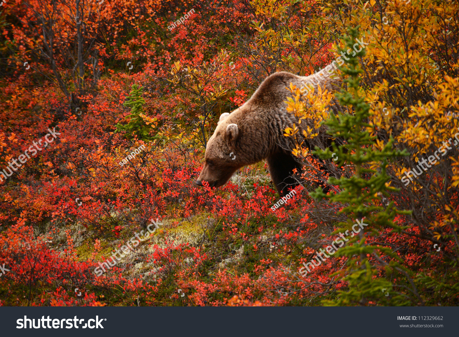 Before Looking For Alaska: Wild Grizzly Bear Looking For Food In Autumn At Alaska